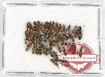 Scientific lot no. 124 Staphylinidae (50 pcs)