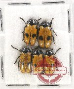 Scientific lot no. 296 Chrysomelidae (5 pcs)