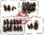 Scientific lot no. 9 Carabidae (31 pcs)