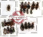 Scientific lot no. 12 Carabidae (22 pcs)