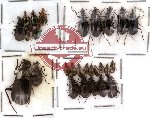 Scientific lot no. 13 Carabidae (27 pcs)