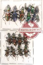 Scientific lot no. 14 Carabidae (18 pcs)