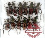 Scientific lot no. 15 Carabidae (12 pcs)