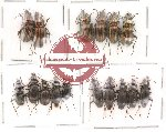 Scientific lot no. 16 Carabidae (16 pcs)
