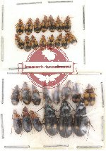 Scientific lot no. 17 Carabidae (29 pcs)