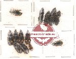 Scientific lot no. 19 Carabidae (13 pcs)