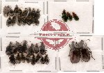 Scientific lot no. 20 Carabidae (35 pcs)