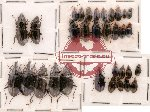 Scientific lot no. 21 Carabidae (32 pcs)