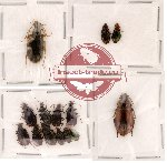 Scientific lot no. 22 Carabidae (14 pcs)