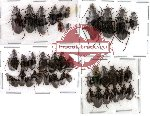 Scientific lot no. 23 Carabidae (39 pcs)