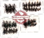 Scientific lot no. 24 Carabidae (37 pcs)