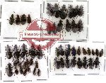 Scientific lot no. 25 Carabidae (52 pcs)