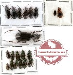 Scientific lot no. 26 Carabidae (20 pcs)