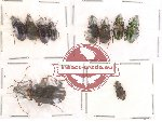 Scientific lot no. 27 Carabidae (10 pcs)