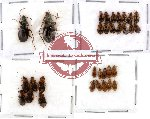 Scientific lot no. 28 Carabidae (31 pcs)