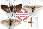 Scientific lot no. 4 Orthoptera (1 pc A2) (4 pcs)