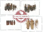 Scientific lot no. 1 Oedemeridae (18 pcs)