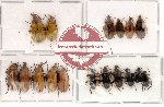 Alleculidae Scientific lot no. 1 (17 pcs)