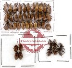 Alleculidae Scientific lot no. 2 (42 pcs)