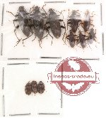 Alleculidae Scientific lot no. 3 (11 pcs)