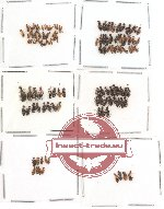 Anthicidae Scientific lot no. 4 (116 pcs)