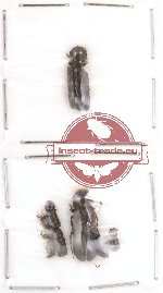 Bostrichidae Scientific lot no. 5 (8 pcs)