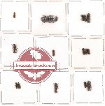 Bostrichidae Scientific lot no. 6 (15 pcs)