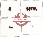 Bothyderidae Scientific lot no. 1 (8 pcs)