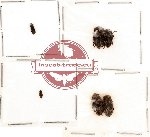 Bothyderidae Scientific lot no. 2 (6 pcs)