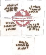 Bruchidae Scientific lot no. 1 (100 pcs)