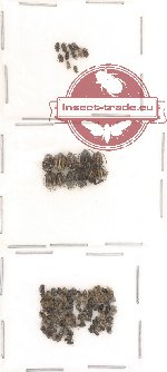 Bruchidae Scientific lot no. 4 (118 pcs)