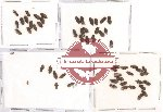 Elmidae Scientific lot no. 4 (60 pcs)