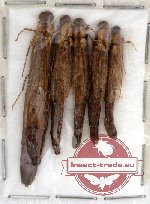 Lymexylonidae Scientific lot no. 1 (5 pcs)