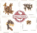 Homoptera Scientific lot no. 2 (30 pcs)