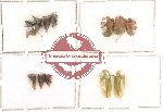 Homoptera Scientific lot no. 3 (12 pcs)