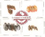 Homoptera Scientific lot no. 5 (21 pcs)