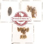 Homoptera Scientific lot no. 6 (14 pcs)