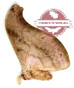 Antheraea jana (brown)