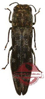 Agrilus sp. 23 (2 pcs)