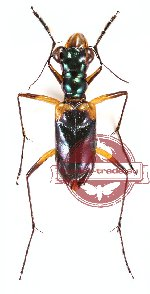 Therates dimidiatus (10 pcs)