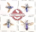 Chrysididae scientific lot no. 1 (4 pcs)