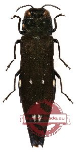 Agrilus sp. 1 (10 pcs)