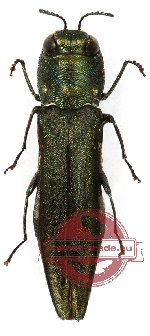 Agrilus sp. 3 (2 pcs)