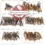 Scientific lot no. 1 Hymenoptera (35 pcs)