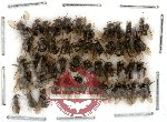 Scientific lot no. 6 Hymenoptera (49 pcs)