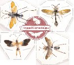 Scientific lot no. 10 Hymenoptera (4 pcs)