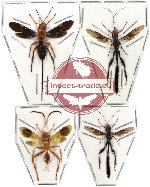 Scientific lot no. 21 Hymenoptera (4pcs) (1pc A-)