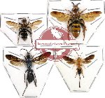 Scientific lot no. 22 Hymenoptera (4 pcs) (3pc A2)