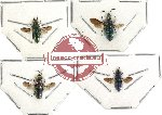 Scientific lot no. 23 (Chrysididae) (4pcs) (2pc A2)
