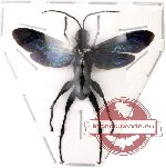 Scientific lot no. 24 Hymenoptera (1 pcs)